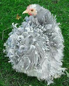 Posts about bantam written by Great Brampton Smallholding Bantam Chickens, Chickens And Roosters, Pet Chickens, Raising Chickens, Frizzle Chickens, Bantam Chicken Breeds, Pretty Birds, Beautiful Birds, Animals Beautiful
