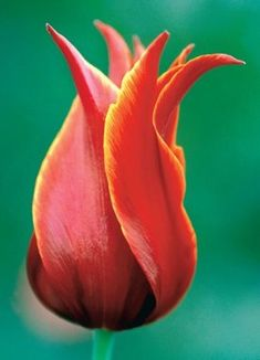 tulip-favourite flower