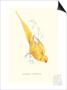Rose Ringed Parrot (Yellow) - Psittacula Krameri SwitchArt™ Print by Edward Lear at Art.com