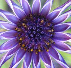African Daisy http://www.flowerpicturegallery.com/d/1521-2/close+up+african+daisy.jpg