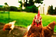 Hens produce approximately 300 eggs each year. #hensdeservebetter