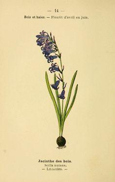 img/dessins fleurs prairies champs bois/dessin fleurs prairies champs bois jacinthe des bois - scilla nutans.jpg