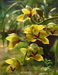 Cymbidium | Cynbidium orchids, Sapa, Vietnam. A cymbidium orchid growing at the ...