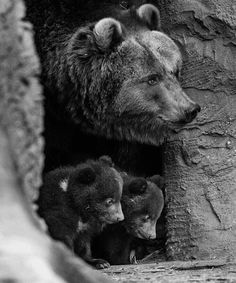 Beautiful Mother Bear and Two Cubs! Beautiful Mother Bear and Two Cubs! Nature Animals, Animals And Pets, Cute Baby Animals, Funny Animals, Baby Pandas, Baby Bears, Beautiful Creatures, Animals Beautiful, Photo Ours