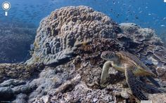 Diving the Great Barrier Reef #turtle #virtualdive #queensland