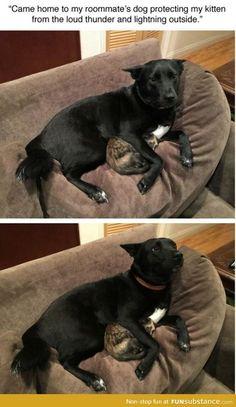 Dog protecting kitten http://ibeebz.com