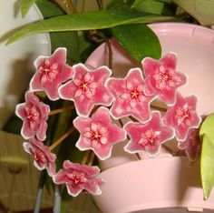 Hoya 'Jungle Garden' Cutting IML 0053 [0053x] - $10.00 : Buy Hoya Plants Online in Many Species from SRQ Hoyas Today!