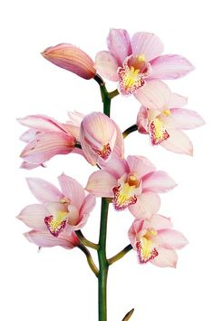 orchid, flowers, plant, pink, bloom, white