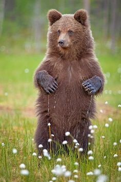 Wet PawsbyBrett Lewis Young European Brown bear standing tall among the swamps in the Taiga forests of Finland