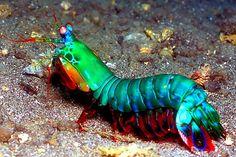 Mantis Shrimp - amazing color