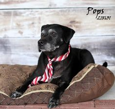 ***10/10/14 STILL LISTED PETFINDER|SENIOR***POPS Labrador Retriever Mix • Adult • Male • Large Montgomery County Animal Shelter Conroe, TX