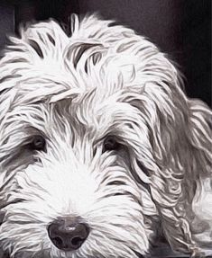 Labradoodle white just resting 8x10 or 11x14 by AnimalArtIncognito