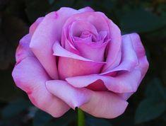 neptune hybrid tea rose - Google Search