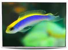 Sunrise Dottyback For Sale - only $35.95 at Pet Fish For Sale - Saltwater Fish For Sale - www.petfishforsale.com