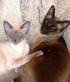 types of siamese cats pictures