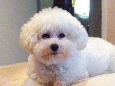 """Bichon Frise...❤  This looks like my beautiful Bichon """"Happy"""" who I lost after only 8 years.  : ("""
