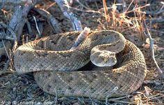 Reptiles - Serpent à sonnette - Frawsy