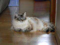 seal point lynx ragdoll cat