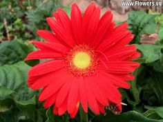 gerbera daisy | free red gerbera daisy flower pictures