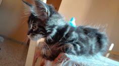 My kitten Maine Coon,Baloo