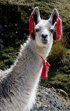 illamas   03PER 41 16 Llama L - Llamas