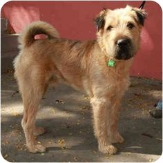"""shar pei airedale terrier mix"" - Google Search"