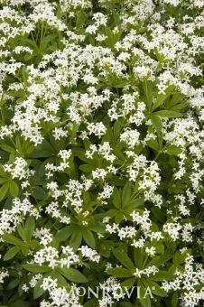 Heather calluna vulgaris is a low growing perennial for Low maintenance perennials for shade