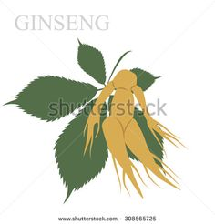 vector illustration of ginseng root and leaf. herb using in Chinese natural medicine. - stock vector