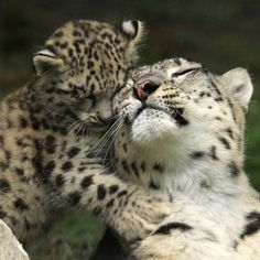 Looking for a last minute Mother's Day gift? How about a snow leopard cub adoption in your mom's name? Cute Baby Animals, Animals And Pets, Funny Animals, Big Cats, Cats And Kittens, Cute Cats, Beautiful Cats, Animals Beautiful, Gato Grande