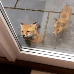 "Pup , ""please please please lemme come in thru this door"" . Other Pup, ""Hey bro calm down , that's window"" Cute Funny Animals, Cute Baby Animals, Funny Cute, Animals And Pets, Funny Foxes, Funny Happy, Cute Animal Videos, Funny Animal Pictures, Animal Pics"