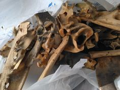 Cleaning up found bones to use in jewelry & artwork.  2015.