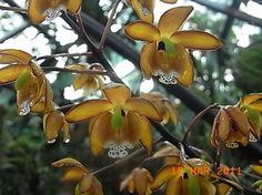 Eriopsis biloba