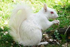 Percy the albino squirrel -