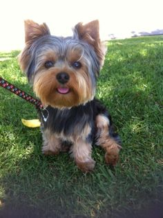 Out for a walk! #threadsence #pebbles #yorkie