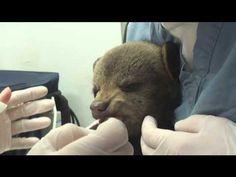 Tramadol Face:  Treating a Black Bear cub at the Wildlife Center of Virginia