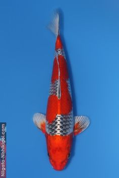 This is another unique Koi created by Aoki, a cross between Goshiki and Kujaku, photographed in Interestingly it displays all the characteristics of Kujaku but the orange pattern is free of scale pattern. Bodies Exhibit, Koi Art, Carpe Koi, Golden Fish, Orange Pattern, Beautiful Fish, Colorful Fish, Japan, Betta Fish