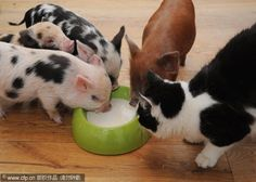 Um….why are there pigs drinking my milk?