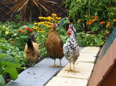 Chickens on path