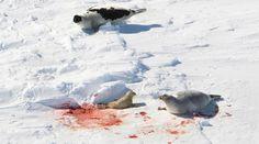 Ξεκίνησε η σφαγή της φώκιας στον Καναδά - Χιλιάδες νεογνά θα βρουν μαρτυρικό θάνατο