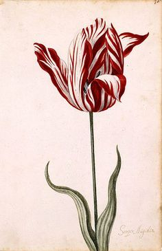 This is a painting of the most expensive tulip ever sold, 13000 florins in 15th ce. Netherlands. That amount would have bought a large house and a tract of land! The unusual stripping is responsible for the Tulip speculation of the 15th century and a virus was responsible for the coloring!