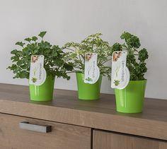 #Geurgeraniums #Pelargonium #Mint #Citroen
