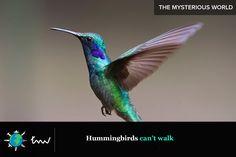 #birds #hummingbirds #facts