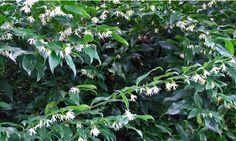 SARCOCOCCA ruscifolia. Very fragrant white flowers, nice planted near doors, windows, patios.  Evergreen foliage is deep green and shiny.  Good companions: hydrangeas, camellias, azaleas, and astilbe.  Tolerates full shade and dry shade.  Once established, needs only occasional supplemental watering.