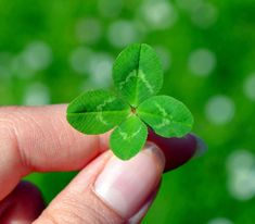 Free Image on Pixabay - Klee, Four Leaf Clover, Green Clover Green, Four Leaf Clover, St Patrick's Day Trivia, Free Pictures, Free Images, Tiny Gifts, Four Leaves, Lucky Day, I Found You