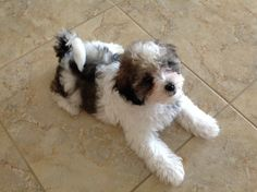 Marijke Tansey, Havanese Fly Has Havanese Puppies For Sale