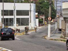 FANTASIA  ESTRELAR: Os Cavalos no centro urbano, calmamente puxando um...
