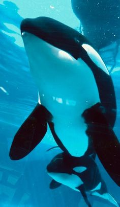 Kasatka and Kalia Animals And Pets, Baby Animals, Cute Animals, Orcas, Big Whale, Wale, Mundo Animal, Ocean Creatures, Killer Whales