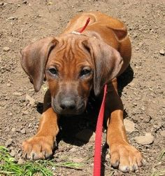 A Rhodesian Ridgeback puppy.