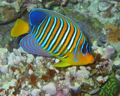 Spectacular colors of the Royal Angelfish, an exotic underwater beauty of the Great Barrier Reef!
