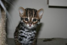 Beautifull Bengal F1 kitten <3